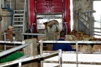 Chargement d\'un camion de bétail