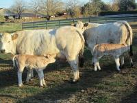 Vaches Piémontaises